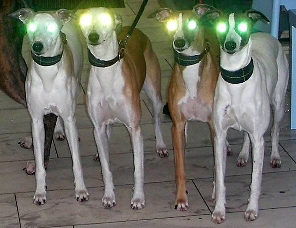 Whippet-Lichttest